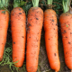 Fresh China Carrot directly from farm
