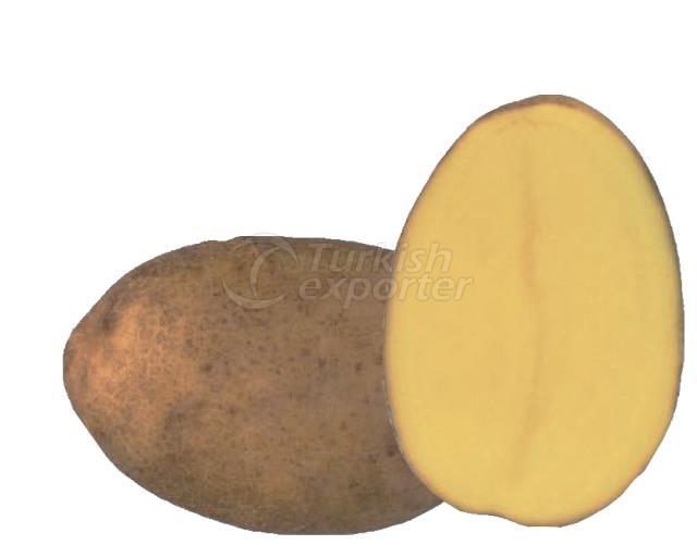 Frying Potato POMQUEEN