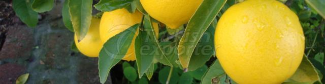 Kocaas Citrus