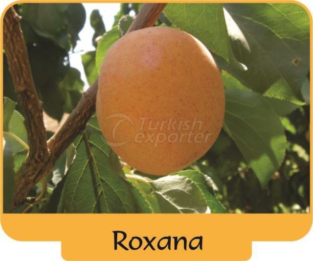 Apricot Roxana