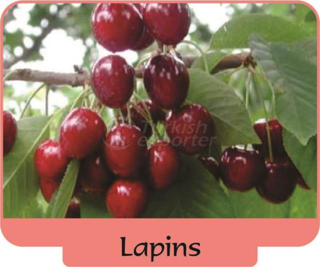 Cherry Lapins