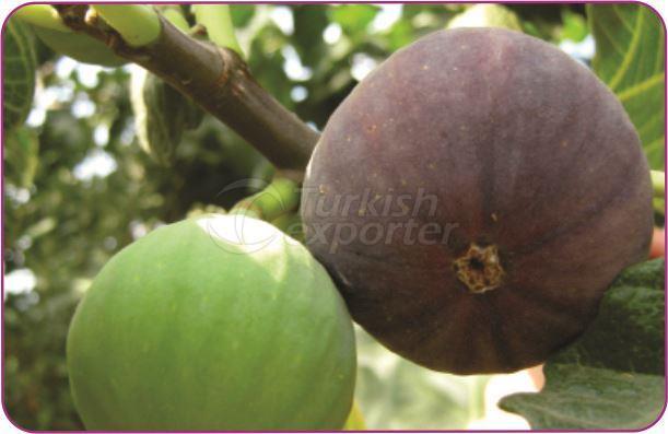 Fig Bursa Siyahı