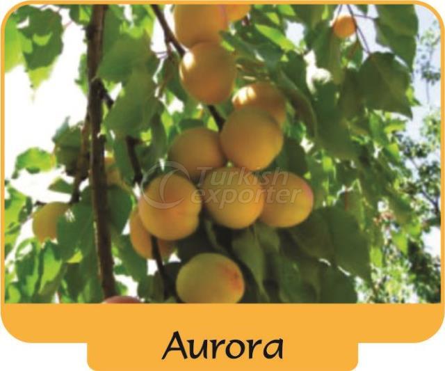 Apricot Aurora