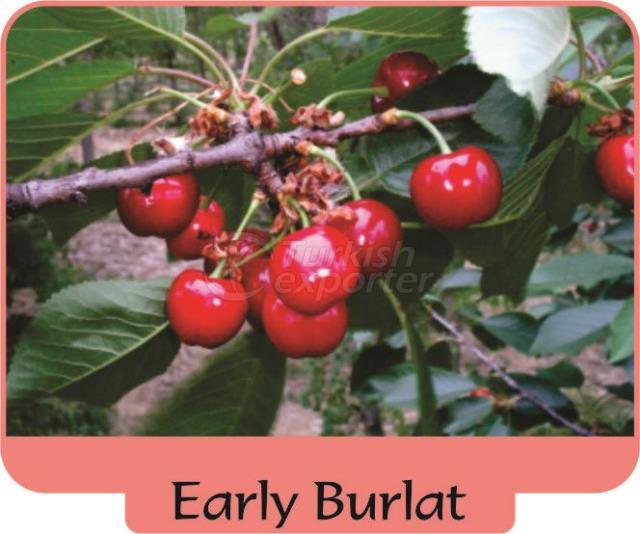 Cherry Early Burlat
