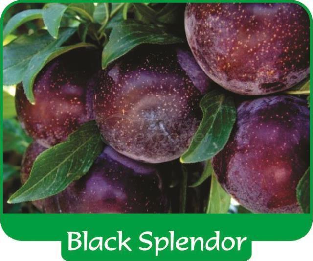 Plum Black Splendor