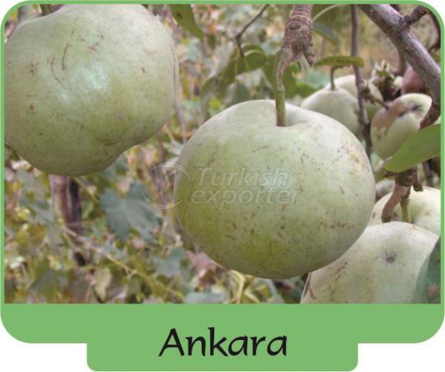 Pear Ankara