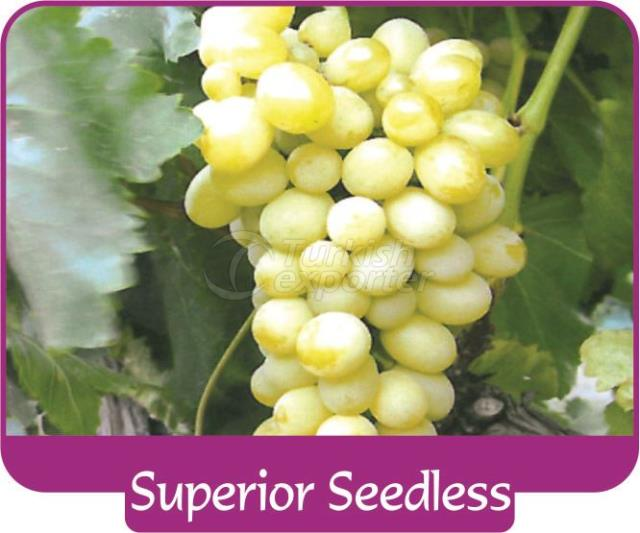 Grape Superior Seedless
