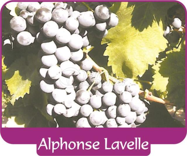 Grape Alphonse Lavelle