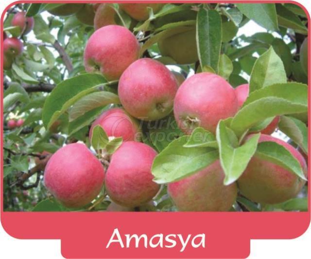 Apple Amasya