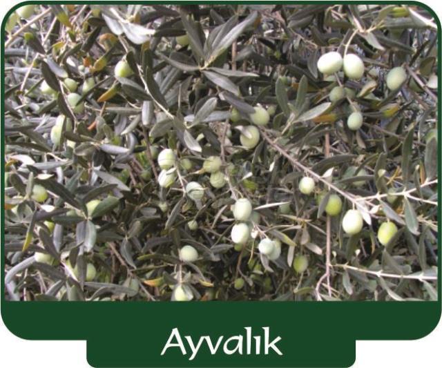 Olive Ayvalık