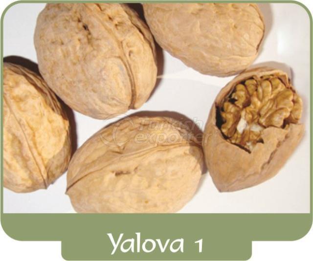 Walnut Yalova 1