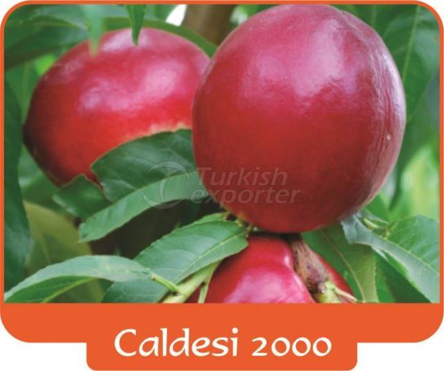 Nectarine Caldesi 2000
