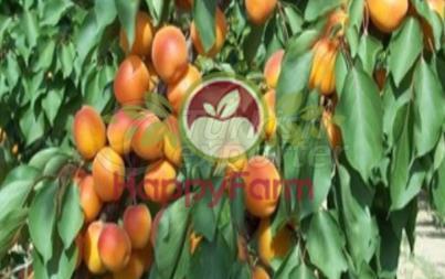 Apricot Tokalioglu