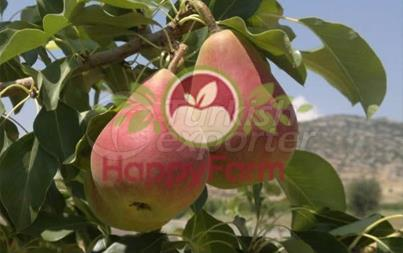 Pear Etruska