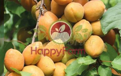 Apricot Karacabey