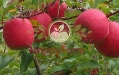 Apple Pink Apple