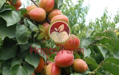Apricot Tropikal
