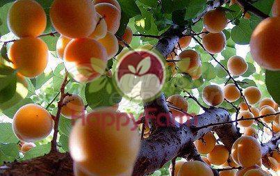 Apricot Bebeko