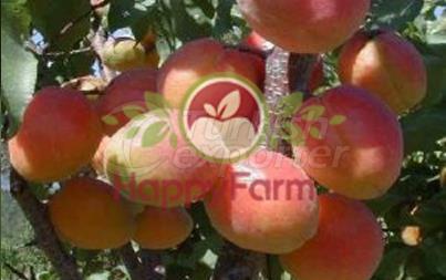 Apricot Matador