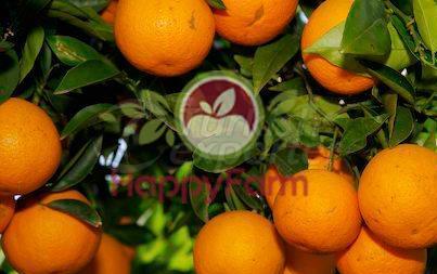 Orange Yafa