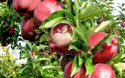Apple Scarlet Spur