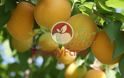 Apricot Ninfa