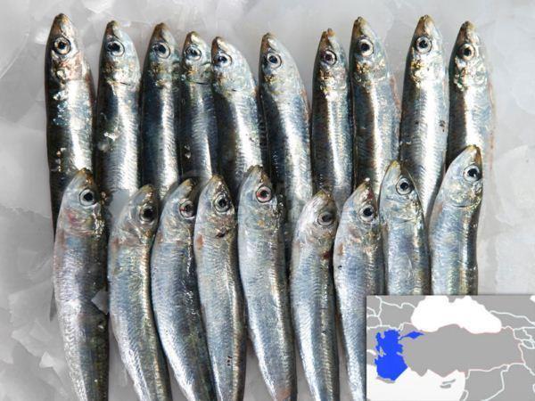 Fresh Cooled Sardine