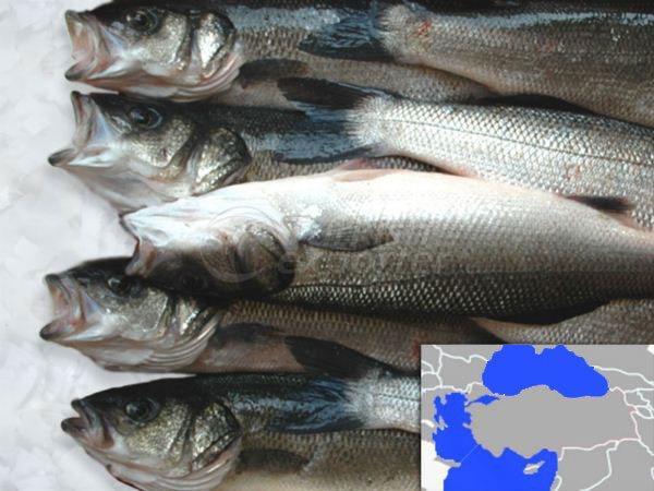 Fresh Cooled Sea Bass