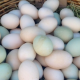 Fresh Fertile Parrot Eggs and Parrots For Sale