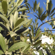 Olive Leaves Seller From Turkey To Relevant Countries